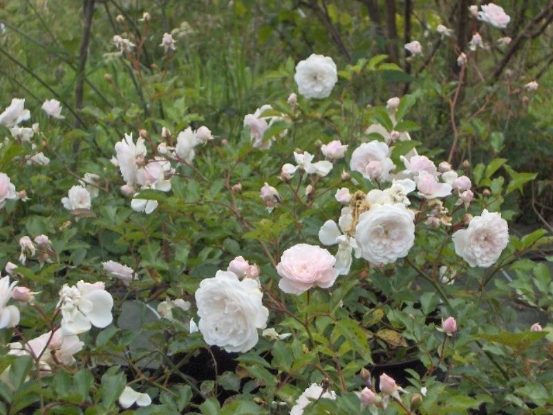 Coup de coeur pour le rosier jardiniers de france c line for Rosier jardin de france