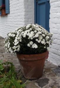 La pomponnette est un joli chrysanthème qui mérite une autre place que celle du cimetière. Crédit C. Delhaye