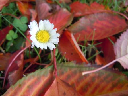Jolie pâquerette au milieu des feuilles d'automne. Crédit SJM.