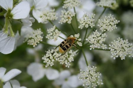 Quel est ce pollinisateur que j'ai photographié ? Quelqu'un a-t-il la réponse ? Crédit C. Delhaye