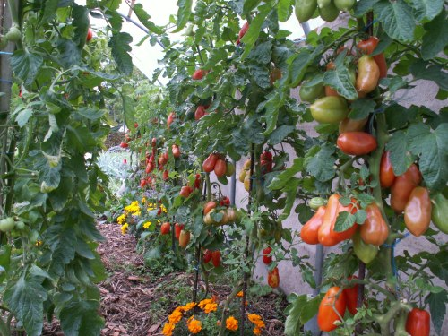 Encore des tomates sous tunnel en automne. Crédit JPF