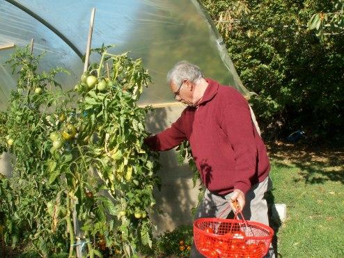 Un tunnel est idéal pour poursuivre le potager en automne voire hiver. Récolte de tomates de Jean-Pierre en région parisienne en novembre. Crédit JPF.