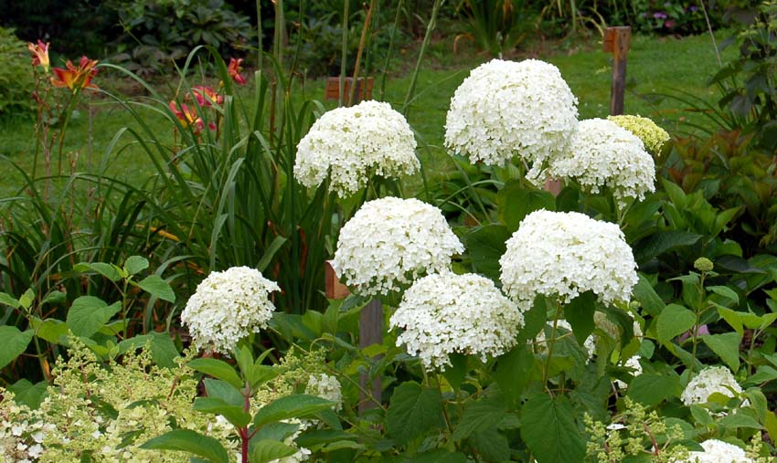 Annabelle quand je te taille c line au jardin - Faut il couper les fleurs fanees des hortensias ...