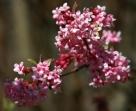 La viorne Bodnantense fleurit l'hiver et dégage un parfum. Parfaite pour le jardin.
