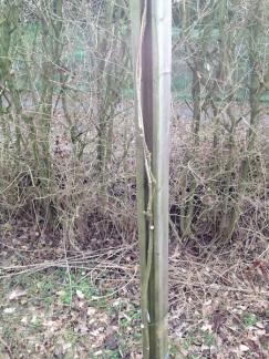 Les 2 branches sont torsadées pour donner plus tard naissance à un solide tronc. On coupe toutes les branches secondaires qui démarrent de ce tronc.