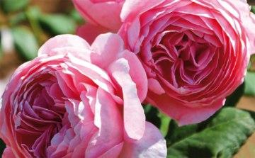 La toute dernière création parfumé de Guillot. Une très belle rose pour un grand chef : Anne-Sophie Pic.